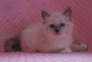 ラグドール子猫 家族募集 男の子_e0033609_16154087.jpg