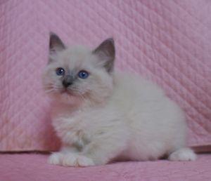 ラグドール子猫 家族募集 男の子_e0033609_1615514.jpg