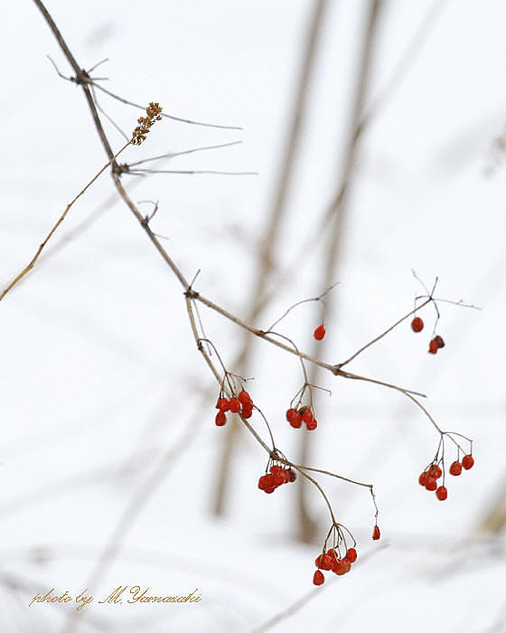 赤い実とウソ_c0217255_6413071.jpg