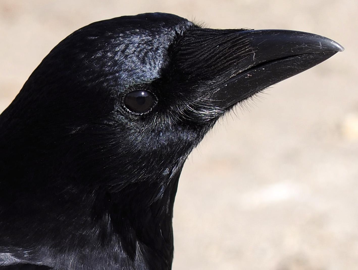 目も真っ黒でかわいいカラス