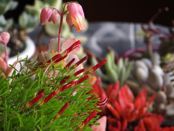 プリムラ・マラコイデス。シボリカタバミの開花など_a0136293_15373450.jpg