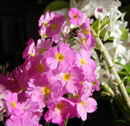プリムラ・マラコイデス。シボリカタバミの開花など_a0136293_15404920.jpg
