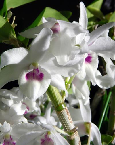プリムラ・マラコイデス。シボリカタバミの開花など_a0136293_15413587.jpg