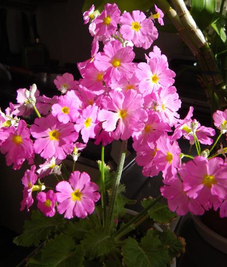 プリムラ・マラコイデス。シボリカタバミの開花など_a0136293_1541759.jpg