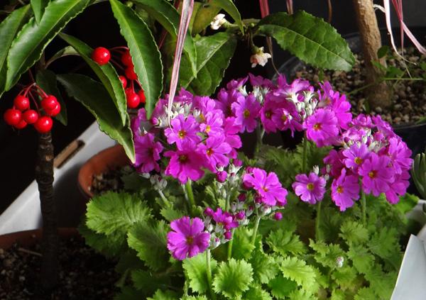 プリムラ・マラコイデス。シボリカタバミの開花など_a0136293_15454725.jpg