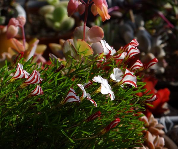 プリムラ・マラコイデス。シボリカタバミの開花など_a0136293_15472121.jpg