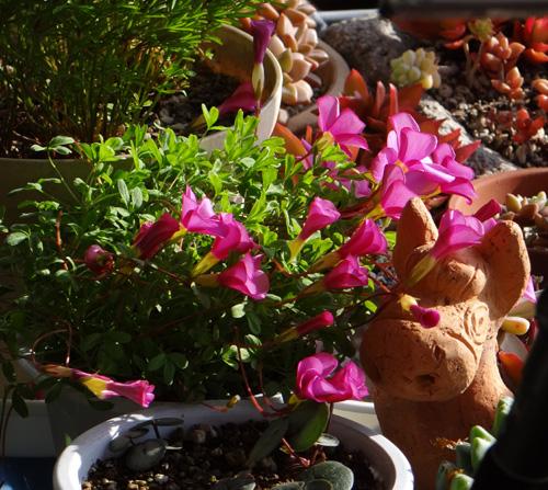 プリムラ・マラコイデス。シボリカタバミの開花など_a0136293_1548281.jpg