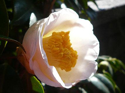 白玉椿が咲きました_d0020309_13581350.jpg