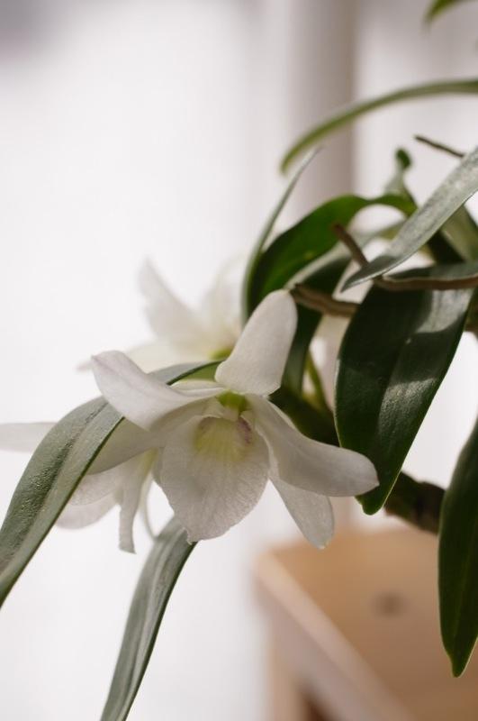 Den.kingianum fma.semi-album_e0276411_1156247.jpg
