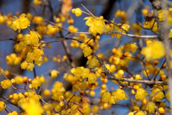 植物園 蝋梅など_e0048413_14623100.jpg