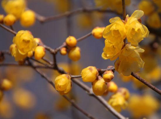 植物園 蝋梅など_e0048413_146341.jpg