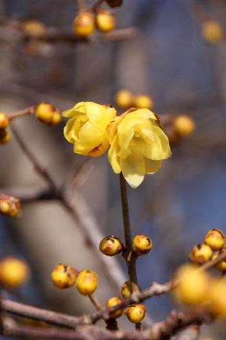 植物園 蝋梅など_e0048413_1464946.jpg