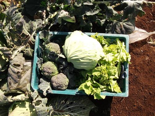 暖かい..野菜の収穫!_b0137932_12385884.jpg