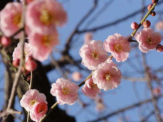 湯島天神 たこ焼きと梅 (2/3)_b0006870_23312321.jpg