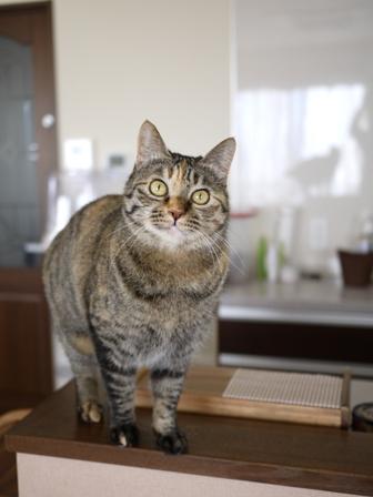 猫のお友だち ワサビちゃん天ちゃんう京くん編。_a0143140_22535298.jpg