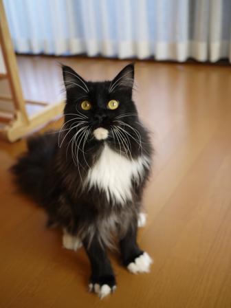 猫のお友だち ワサビちゃん天ちゃんう京くん編。_a0143140_22544995.jpg