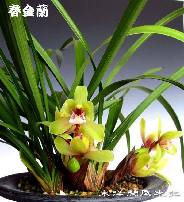 春金蘭・立春                      No.1367_d0103457_1917636.jpg