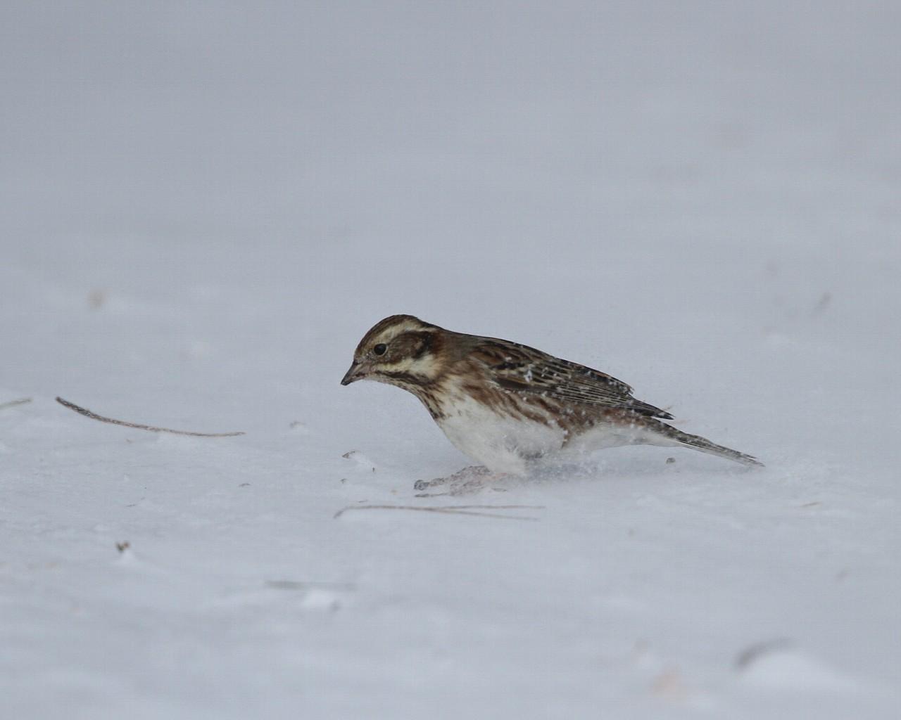 2014年1月雪と鳥シリーズその13: 雪上で餌を探すカシラダカ_f0105570_22425657.jpg