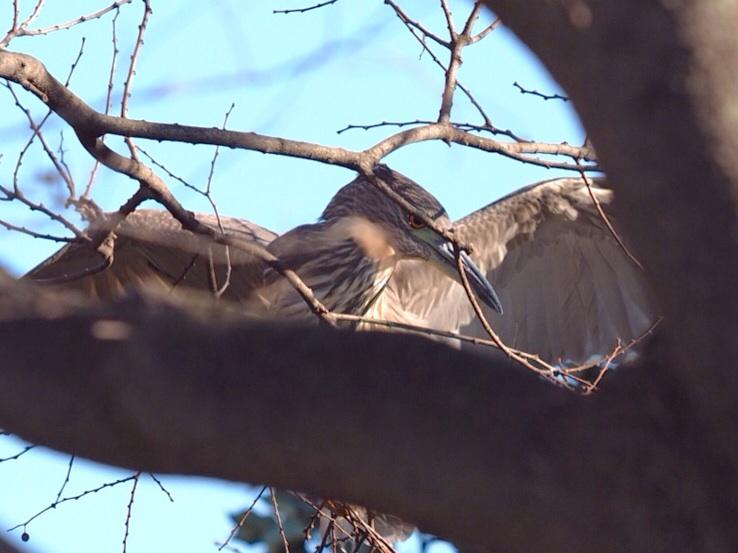 2014年1月14日  あとひと月&ゴイサギ/五位鷺/(Black-crowned)Night Heron_f0108797_11383657.jpg