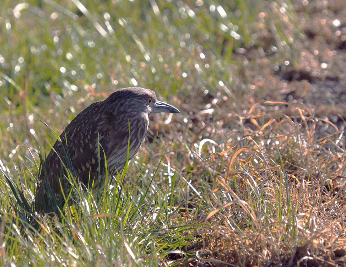 2014年1月14日  あとひと月&ゴイサギ/五位鷺/(Black-crowned)Night Heron_f0108797_11390580.jpg
