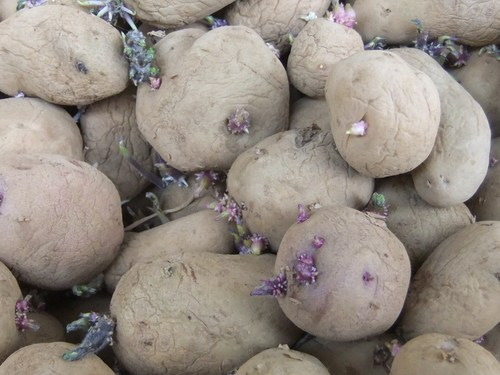 玉ねぎ、ジャガイモ...保存野菜の手入れ..._b0137932_16403115.jpg
