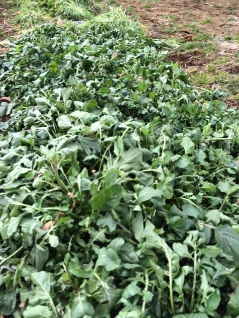 何故 12時 オープンなの? 畑の都合なんです 凍った野菜達・・・がんばっています・・_c0222448_12515168.jpg