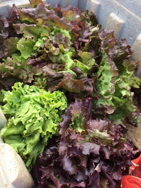 何故 12時 オープンなの? 畑の都合なんです 凍った野菜達・・・がんばっています・・_c0222448_14014838.jpg
