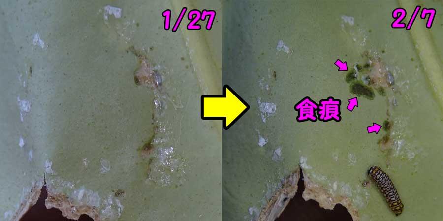 アサギマダラ摂食する_e0253104_23281812.jpg