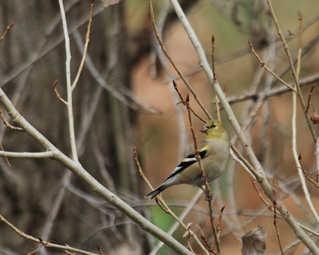 夏羽が見たかった。冬羽は地味なアメリカの鳥_f0105570_21284511.jpg