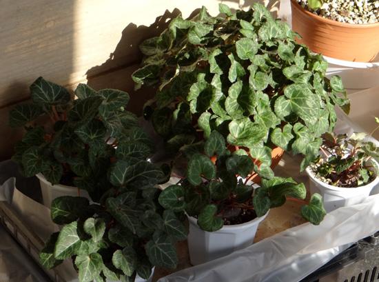 猫部屋でツボミを見せてくれている植物たちなど_a0136293_18351151.jpg