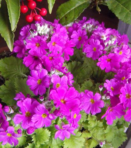 猫部屋でツボミを見せてくれている植物たちなど_a0136293_18382833.jpg