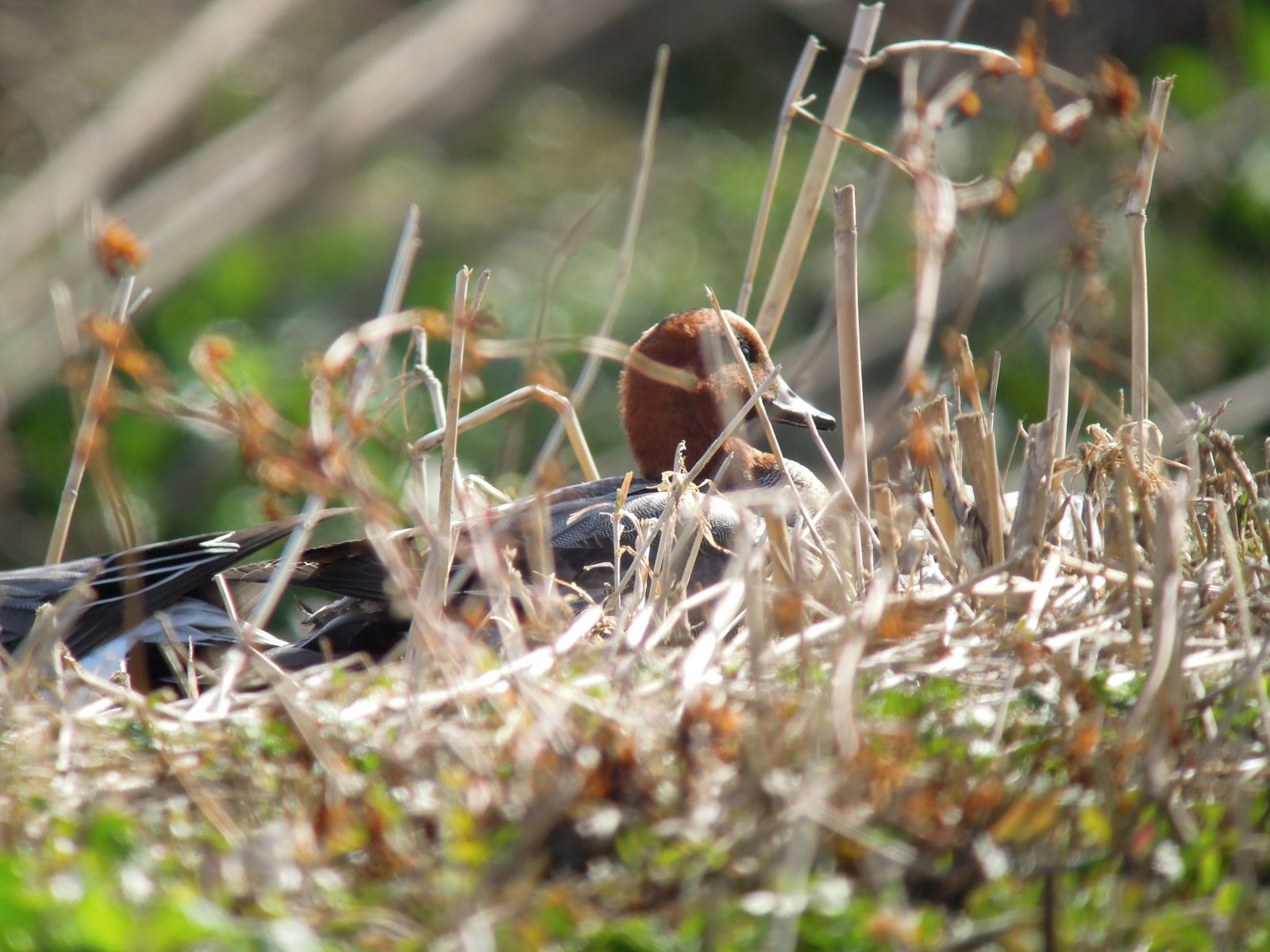 2014年2月7日 コゲラ/小啄木鳥/Japanese Pygmy Woodpecker_f0108797_15424389.jpg