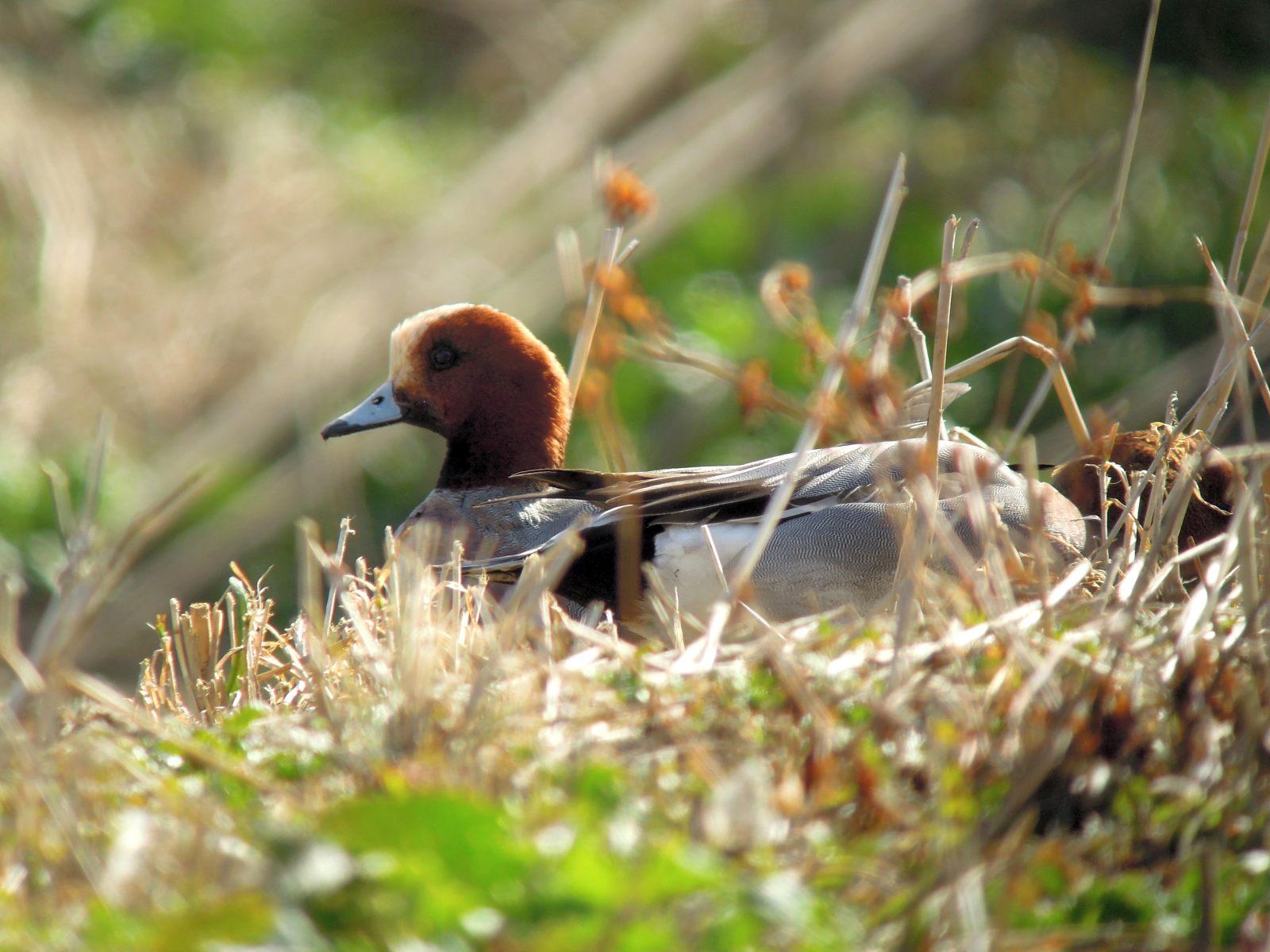 2014年2月7日 コゲラ/小啄木鳥/Japanese Pygmy Woodpecker_f0108797_15430360.jpg