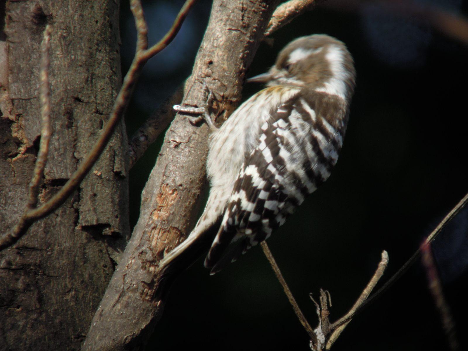 2014年2月7日 コゲラ/小啄木鳥/Japanese Pygmy Woodpecker_f0108797_15435123.jpg