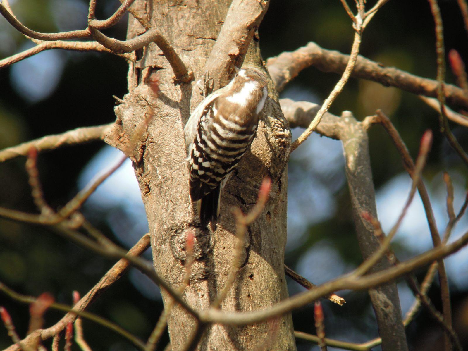 2014年2月7日 コゲラ/小啄木鳥/Japanese Pygmy Woodpecker_f0108797_15444473.jpg