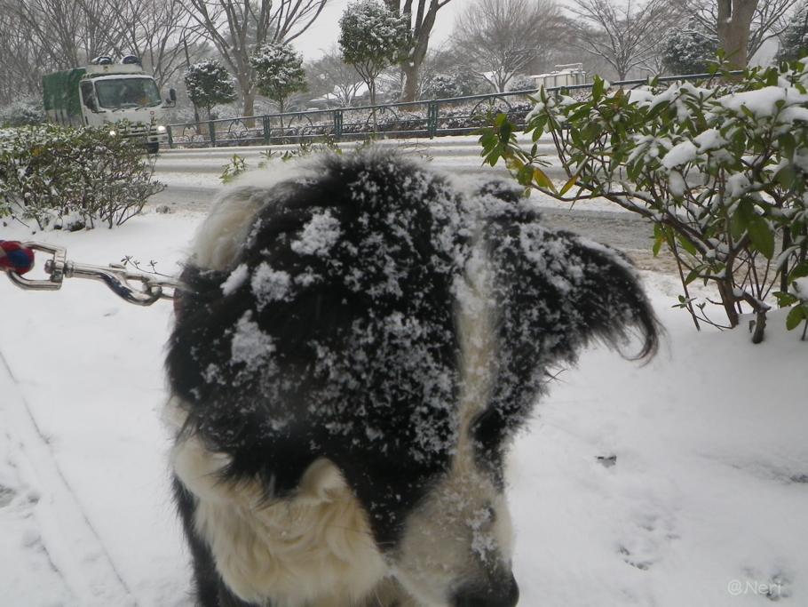 【犬】雪の中を・・_f0141609_11143137.jpg