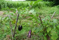 夏野菜、ようやく_f0258061_1640794.jpg