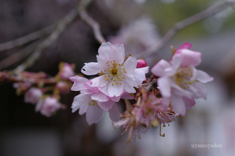 京都・平野神社_a0157263_22244426.jpg