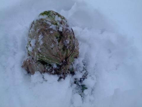 雪の中、収穫へ行ってきた。_e0121558_20402355.jpg