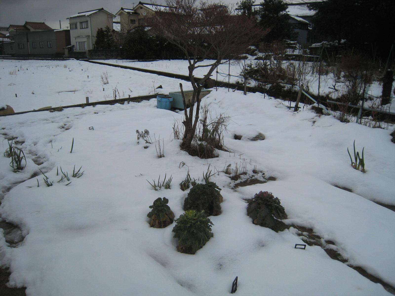 雪の中、収穫へ行ってきた。_e0121558_20404323.jpg