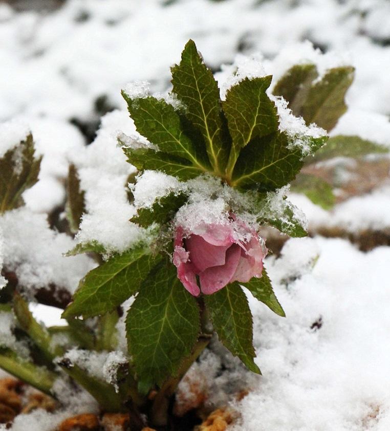 雪に一喜一憂   ~クリスマスローズの一週間~_a0107574_18451021.jpg