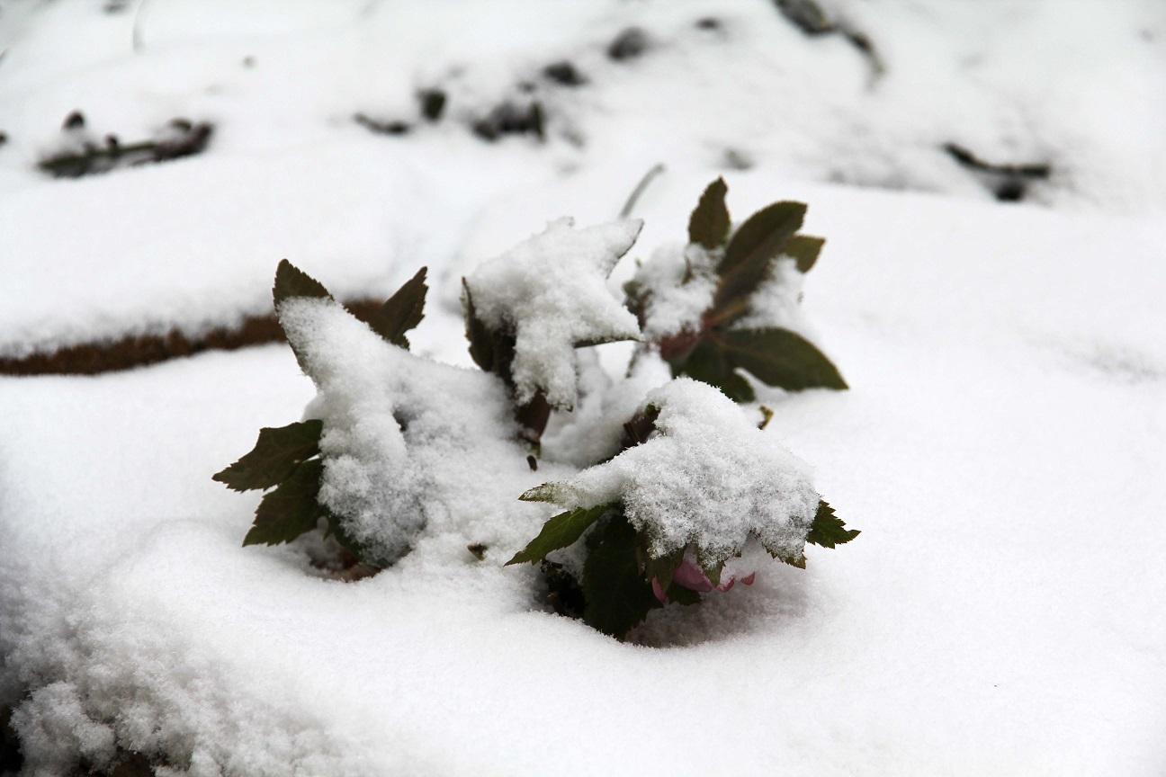 雪に一喜一憂   ~クリスマスローズの一週間~_a0107574_18452696.jpg