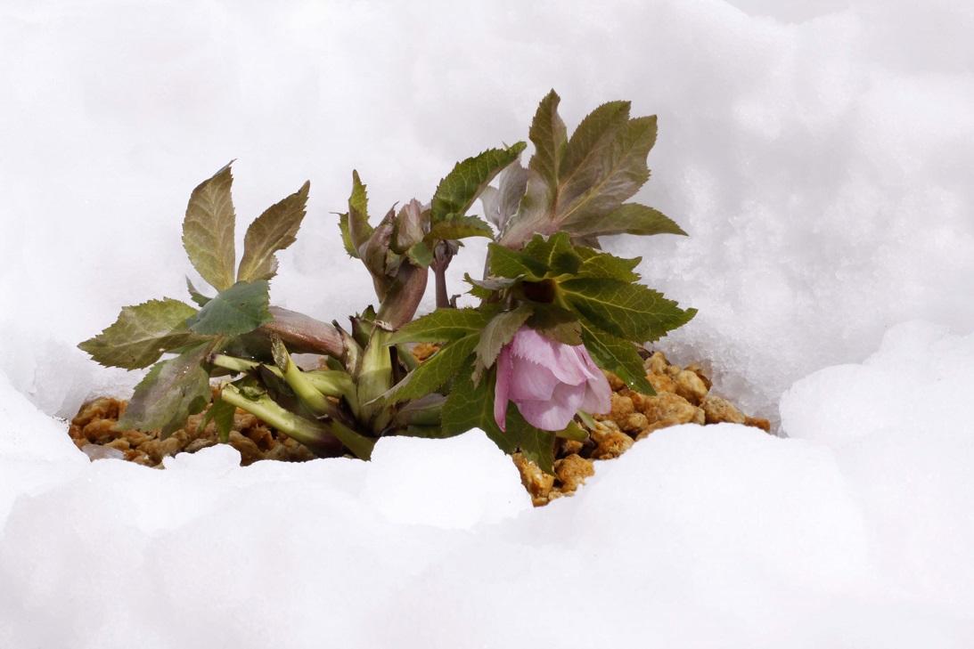 雪に一喜一憂   ~クリスマスローズの一週間~_a0107574_18454769.jpg