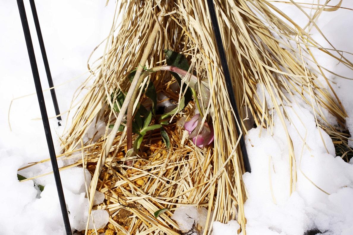 雪に一喜一憂   ~クリスマスローズの一週間~_a0107574_18460132.jpg