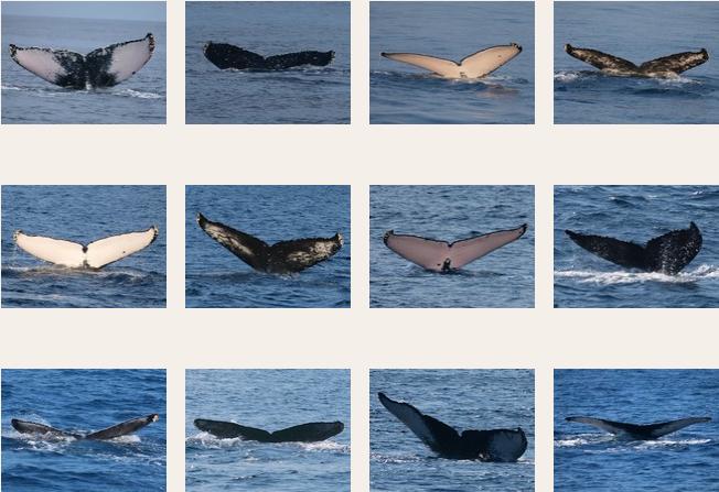 Fluke ID catalog - Humpback whales of Amami-Oshima_a0010095_18142025.png