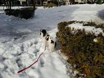 雪とおぼーちゃま達色が違いすぎますよっと。_a0155999_1493758.jpg