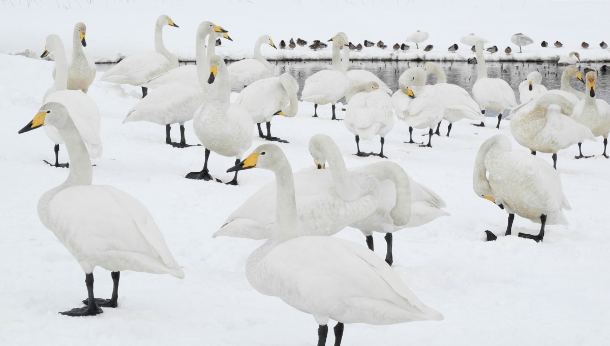 Composition of the swan_e0169421_12274792.jpg