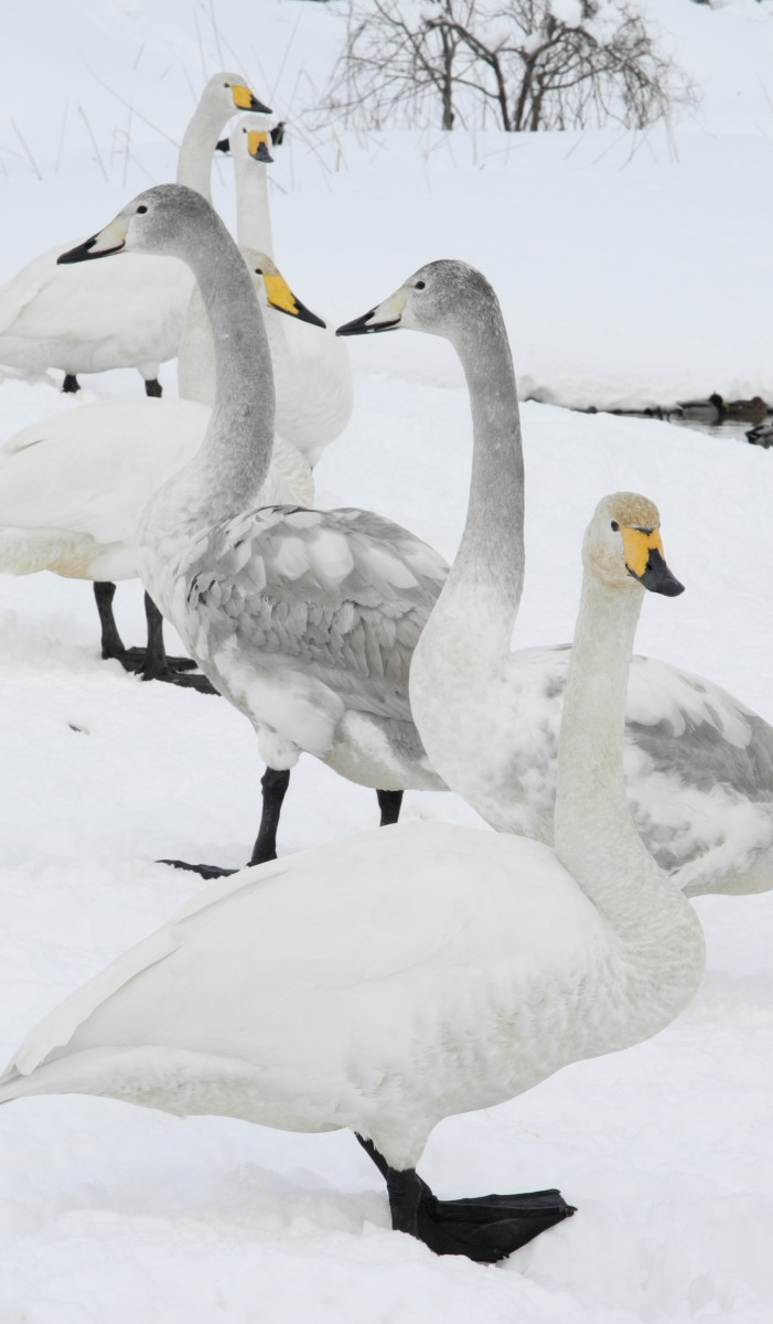 Composition of the swan_e0169421_1228074.jpg