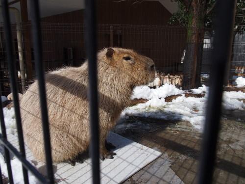 雪とカピバラ(マオちゃん編)_f0253769_21063146.jpg