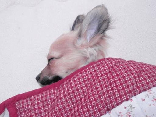 犬もこたつで_a0207196_16282938.jpg